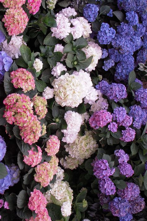 flowering shrubs for shade hydrangea varieties sperling nursery gift shop