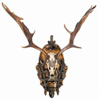 Deer Skull Fallow European