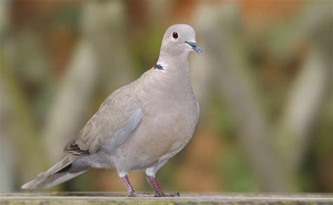 collared dove happy beaks