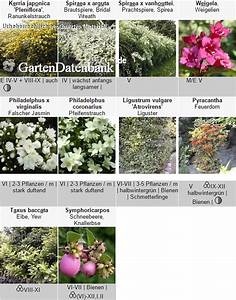 Blühende Hecke Schnellwachsend : heckenpflanzen bl hende hecke als sichtschutzhecke ~ Whattoseeinmadrid.com Haus und Dekorationen