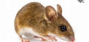 Piege A Rat Castorama : pi ge mulot taupier sur la france ~ Voncanada.com Idées de Décoration