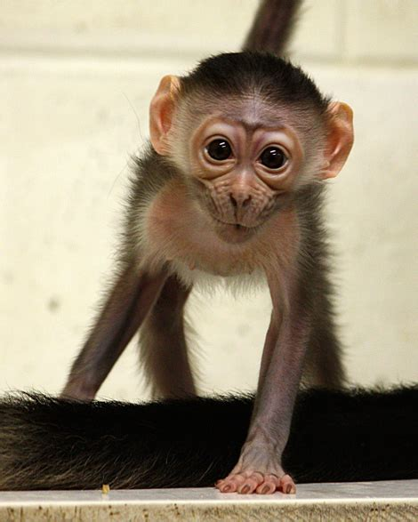 mischievous red capped mangabey monkey zooborns