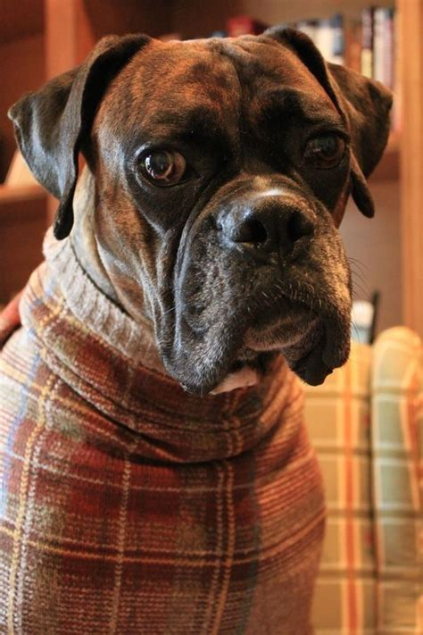 sweaters for boxer dogs 283 best images about boxers on