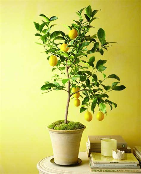 arrosage citronnier en pot fruitier en pot agrumes et plantes exotiques 224 la maison amiti 233 arbres et arbres fruitiers