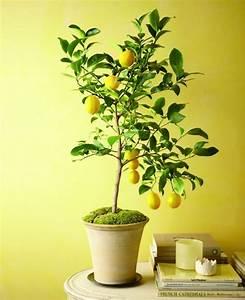 Arbre En Pot : les 25 meilleures id es concernant arbres nains sur ~ Premium-room.com Idées de Décoration