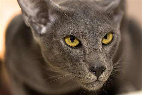 5 Things You Didn't Know About The Oriental Shorthair