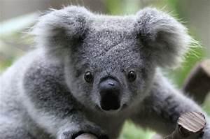 Bébé koala | David Francken | Flickr