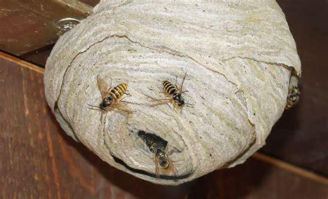 Wespen Vertreiben Hausmittel by Wespen Vertreiben Architekturmlk
