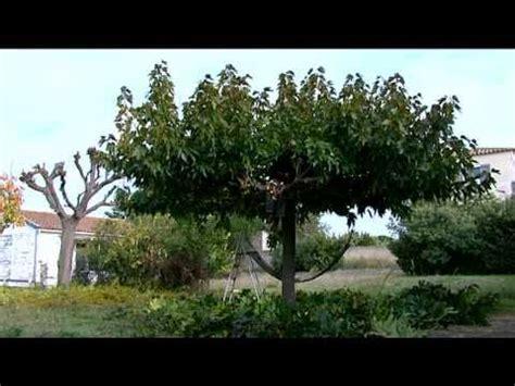 comment tailler un murier platane en forme parasol vid 201 o la taille de l autre arbre
