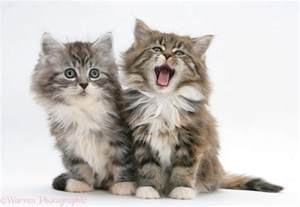 maine coon cat for maine coon kitten free large images