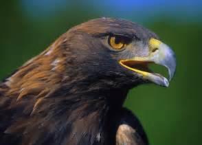 Baby Golden Eagle
