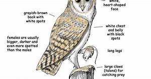 Barn Owl Diagram