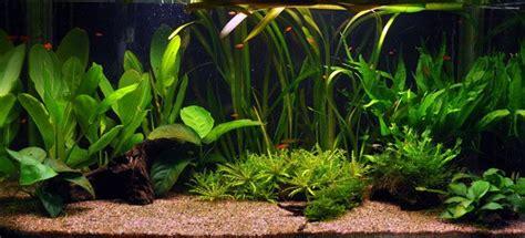 plantes aquarium croissance rapide les plantes aquatiques abri sous roche