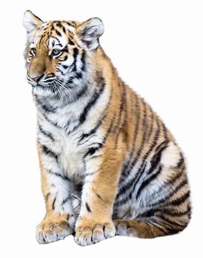 Tiger Transparent Animal Clipart Mammal Pngpix Background