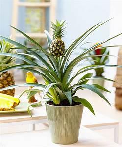 Plant D Ananas : achetez maintenant une plante d int rieur plante ananas corona ~ Melissatoandfro.com Idées de Décoration