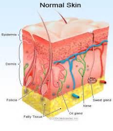Skin - Anatomy - Skin Layers - Dermatology - About.com