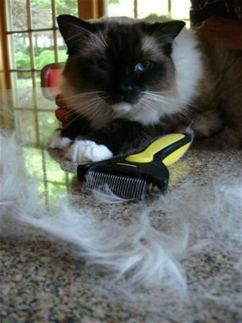 do ragdoll cats shed how much do ragdoll cats shed