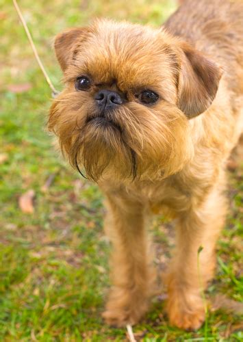 do brussels griffon shed a lot bbs breed spotlight brussels griffon best bully sticks