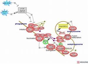 Autophagy Pathwayrat Genome Database