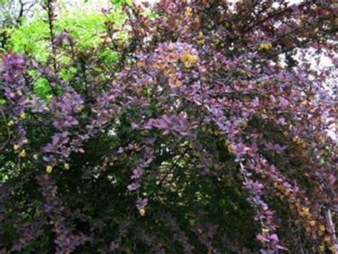 piante spinose da giardino berberis piante da giardino