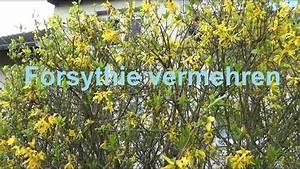 Magnolien Vermehren Durch Stecklinge : forsythie vermehren durch stecklinge ableger von forsythie ~ Lizthompson.info Haus und Dekorationen