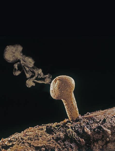 photo insight  heather angel puffball fungus
