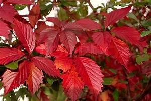 Baum Mit Roten Blättern : rote bl tter der wilden trauben im herbst saison stockfoto colourbox ~ Eleganceandgraceweddings.com Haus und Dekorationen