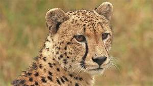 World U0026 39 S Fastest Land Mammal - Learn About Cheetah