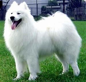 Samoyed, Dogs and Dog list on Pinterest
