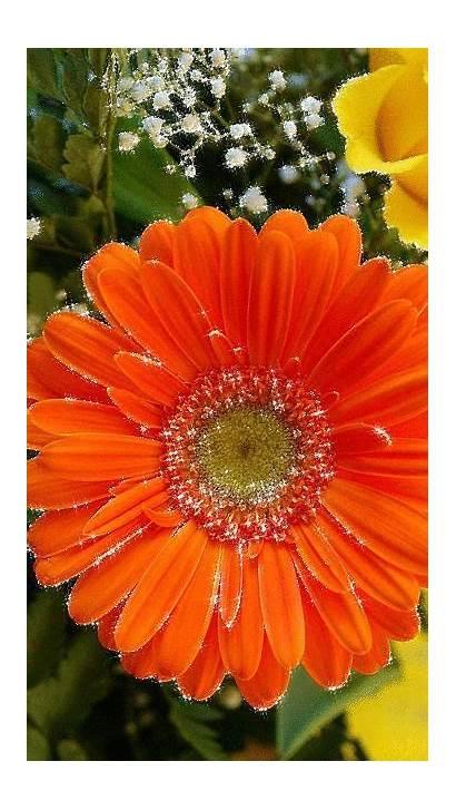 Gerbera Flowers Daisy Flower Roses Orange Nature