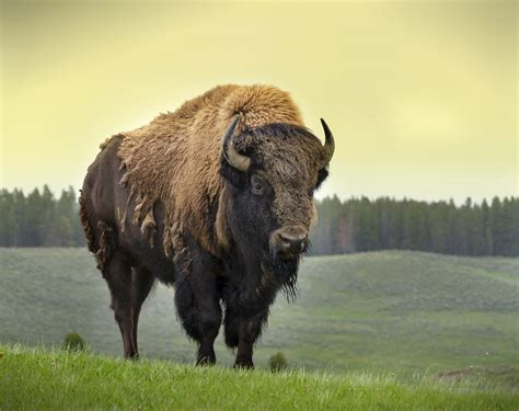 bison facts history  information  amazing pictures
