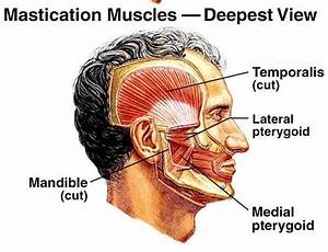 Muscles Of Mastication Diagram