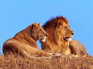 Borne Free Lyon : lion free hd wallpapers and facts everything 4u ~ Medecine-chirurgie-esthetiques.com Avis de Voitures