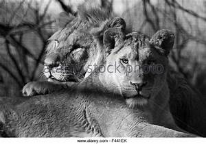 Lion Black White Stock Photos & Lion Black White Stock ...