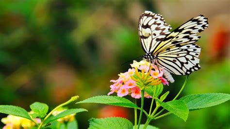 awiasih  gambar wallpaper kupu kupu cantik