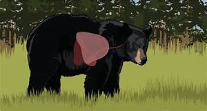 Learn The Proper Shot Placement On A Black Bear