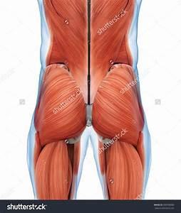 Gluteal Muscles Anatomy Muscle Anatomy Gluteus Anatomy