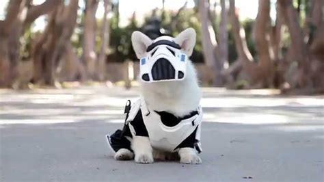 A Little White Corgi Dog Proudly Prances Around in His ...
