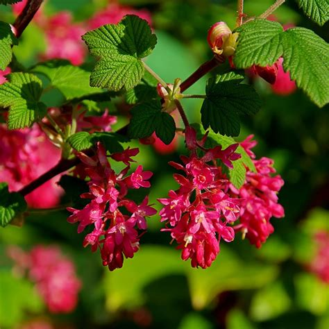 living furniture reviews buy flowering currant ribes sanguineum king edward vii