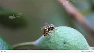 Queensland Fruit Fly Laying Eggs Stock video footage | 8785687