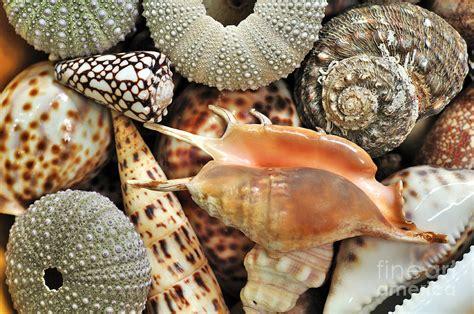 tropical shells photograph  kaye menner