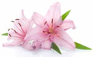 Lilie Symbolische Bedeutung : lilie aussehen herkunft bedeutung und symbolik der lilie ~ Frokenaadalensverden.com Haus und Dekorationen