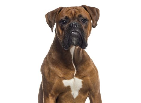 Personality Traits Of The Boxer-bulldog Mix Breed You Didn