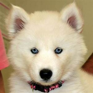 pure white siberian husky with blue eyes for Sale in ...
