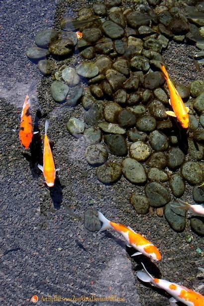 Koi Pond Fish Japanese Ponds Carp Deviantart