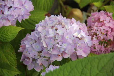 hortensie endless summer schneiden hortensie richtig schneiden zulauf