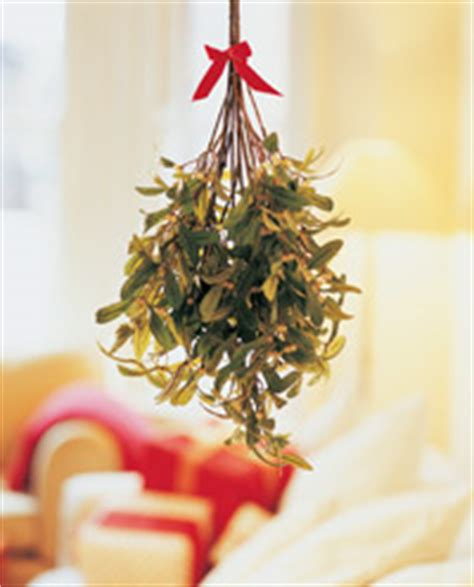 mistletoe is a tradition for characteristics of mistletoe characteristics of mistletoe howstuffworks