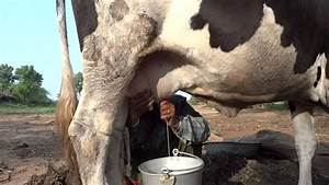 India  Young Women Milking The Cow