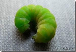 Chenille Verte Fluo : phlogophora meticulosa chenille verte dans un cep de ~ Nature-et-papiers.com Idées de Décoration