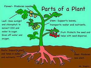 Parts Of The Plants  U2318 U2318  A Diagram Of Plant Parts And Their Functions